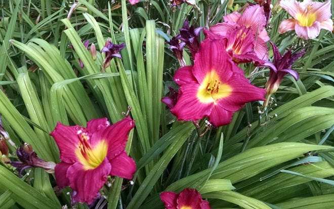Jerry Apps' brother Darrel has introduced some 420 new types of daylilies—real beauties each one.