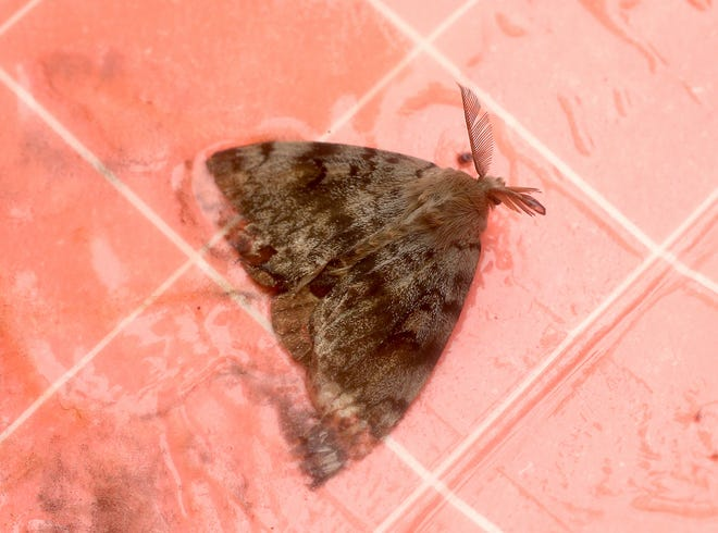 A gypsy moth stuck in a trap near Brownsville on Wednesday, August 1, 2018.