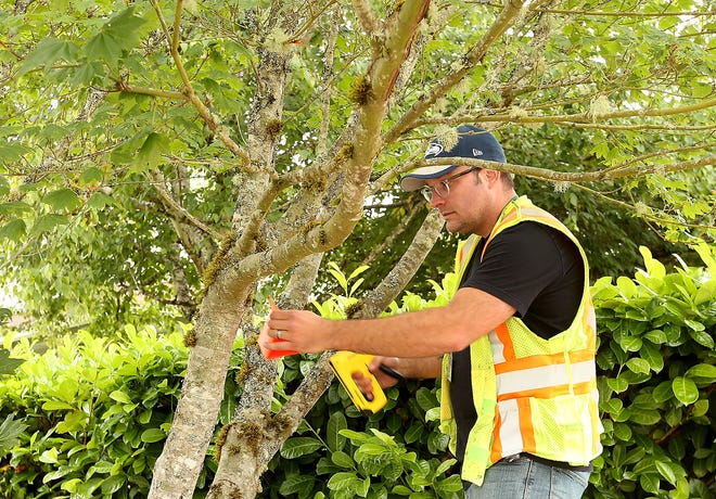 Jason Adkins, who traps gypsy moths for the state Department of Agriculture, staples a gypsy moth trap to a tree in Bremerton on Wednesday.