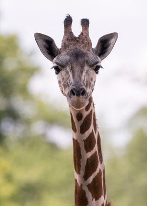 Mesker Park Zoo's newest member Clementine poses for the camera on Wednesday, August 1, 2018. Clementine arrived in June and now the 11-months-old giraffe has made her public debut.