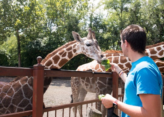 Mesker Park Zoo's visitor services attendant Scott McCain feeds romaine lettuce to Clementine who made her public debut on July 28. Clementine is welcomed by the zoo's other two giraffes, Kiah and Kizzie.