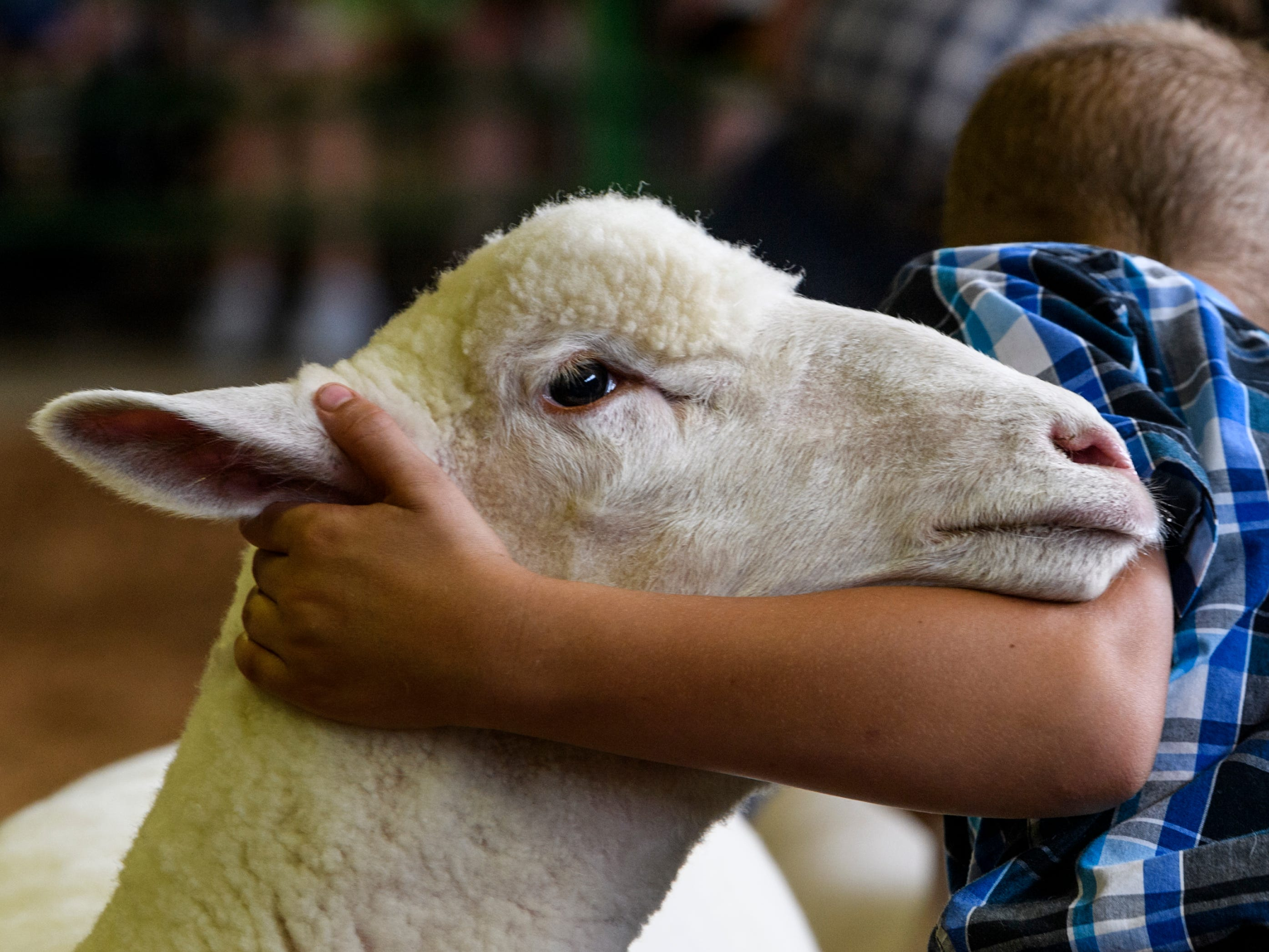 Dallas Bergman straightens out the stance of his Dorset ewe lamb as the judge surveys a line of exhibitors during the 4-H Sheep show inside the Livestock Barn at the Vanderburgh County Fair, Thursday afternoon, July 26, 2018.
