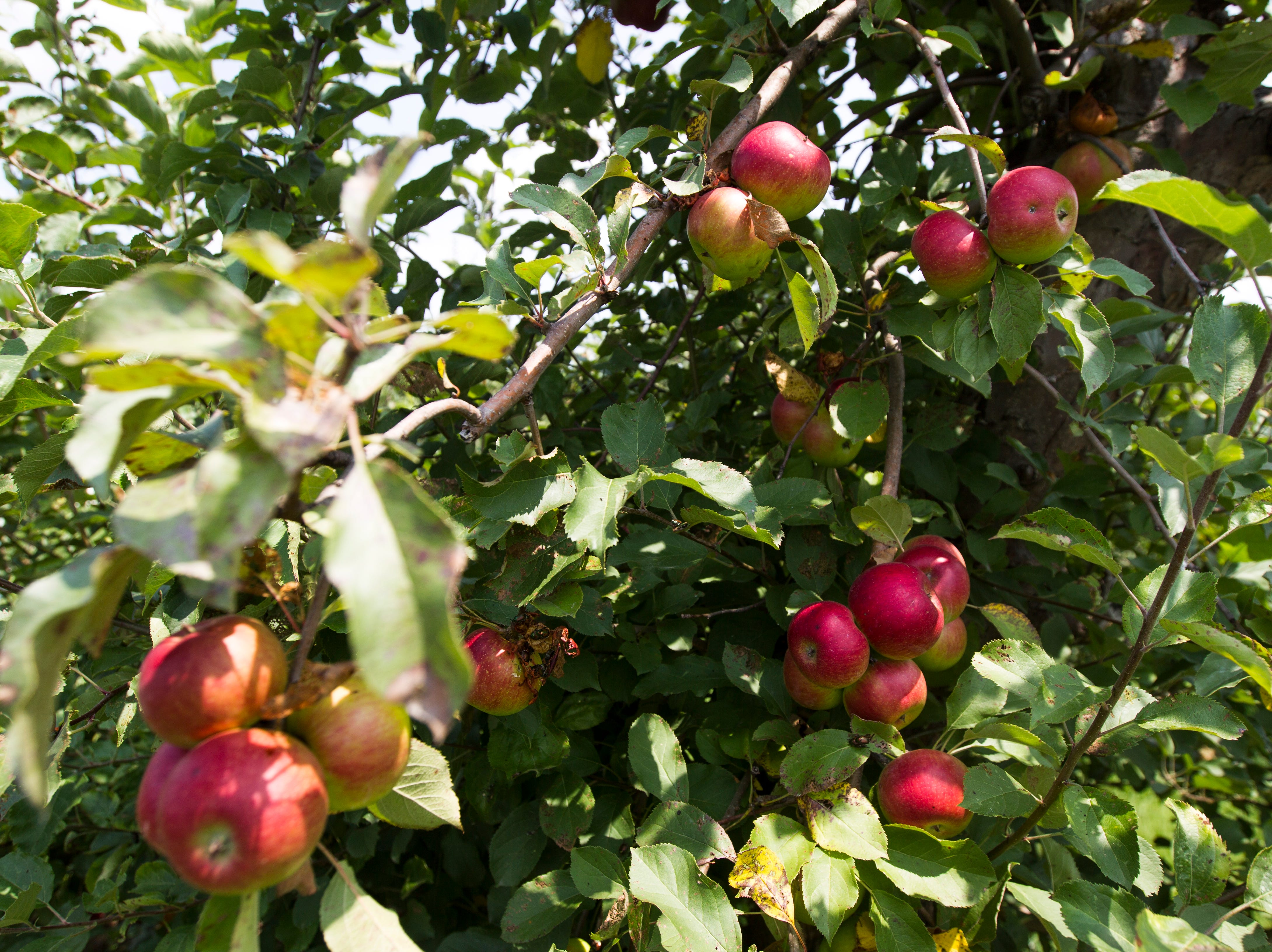 Burgundy apples are seen on Wednesday, Aug. 1, 2018, at Wilson's Apple Orchard in Iowa City, Iowa. These apples become ripe in late August.