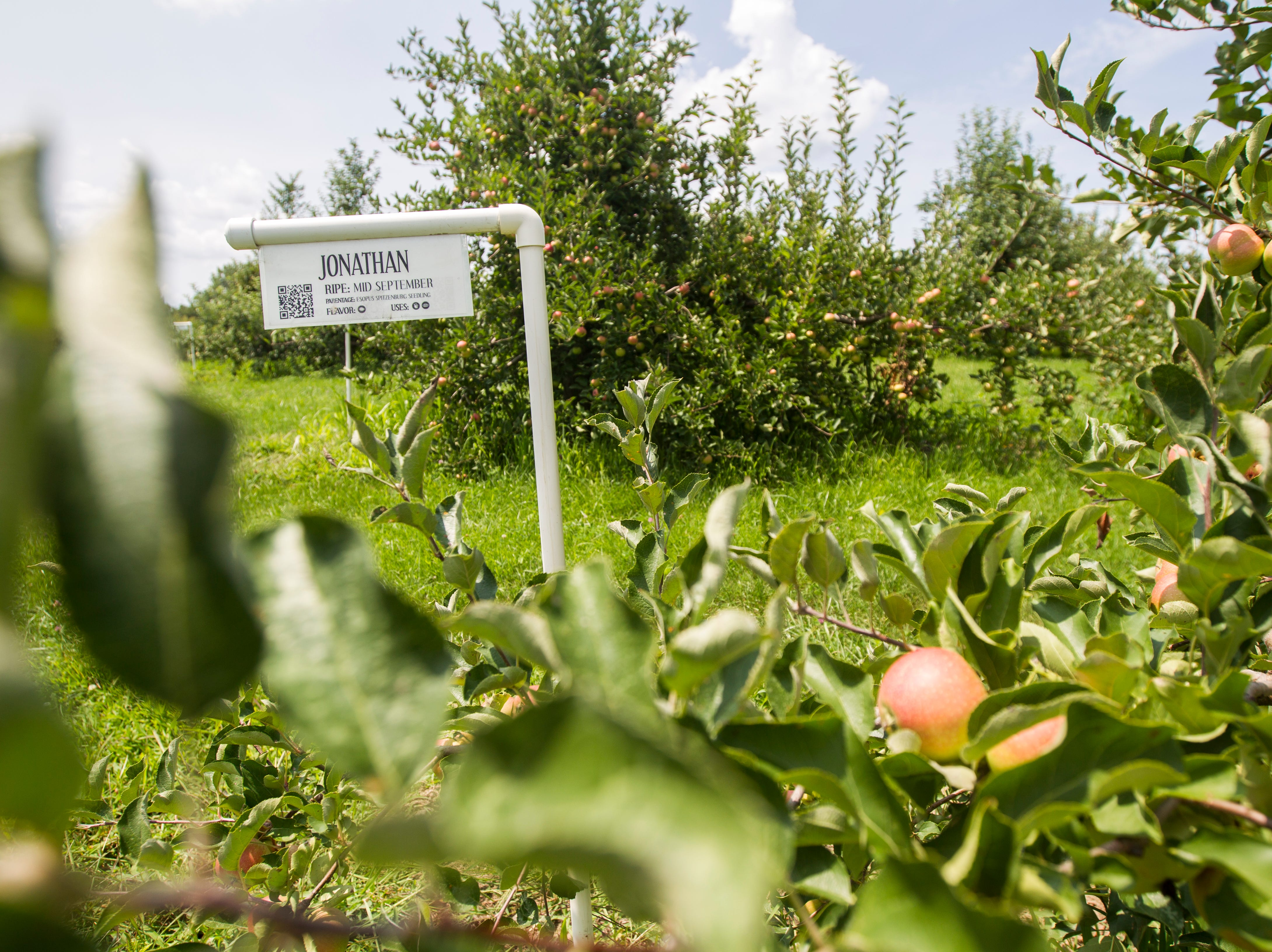 Jonathan apples are seen on Wednesday, Aug. 1, 2018, at Wilson's Apple Orchard in Iowa City, Iowa. The orchard is open from Aug. 1 through Oct. 31, 10 a.m. to 6 p.m daily.