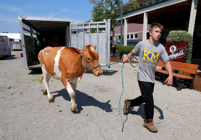 Christopher Szczech, 16, with the Waukesha County Dairy Project, walks with a cow after unloading it near the House of Moo, an interactive dairy education center. Work was being done Wednesday in preparation for the opening of the Wisconsin State Fair at State Fair Park. The fair, in West Allis, runs from Thursday, August 2, to Sunday, August 12.