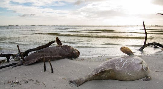 Dead Goliath grouper lay on the beach at Lovers Key near Big Carlos Pass Sunday, July 29, 2018.