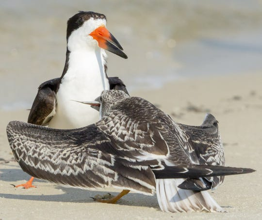 """""""The Black Skimmer babies are growing fast."""""""