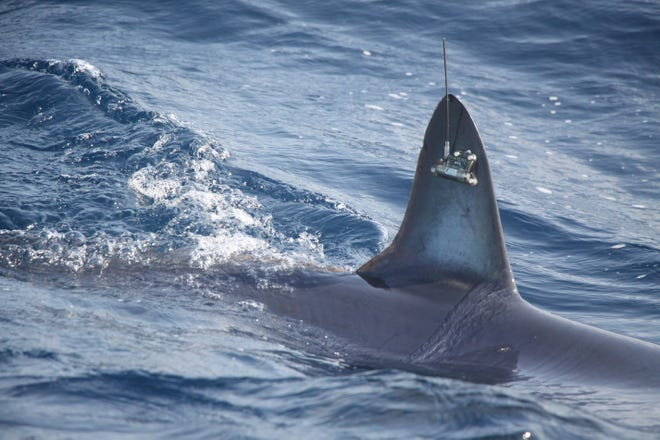 A mako shark caught off of Ocean City and fitted with a transmitter was caught by fishermen 37 days later.