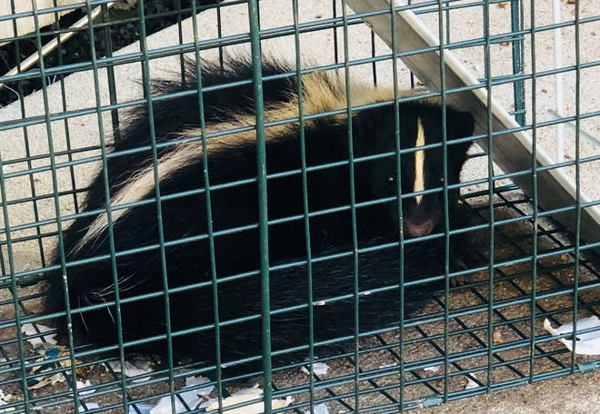 Police say a skunk got into a vending machine in Branson.