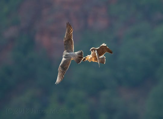 Peregrine falcons are photographed as they fly near Angels Landing inside Zion National Park.