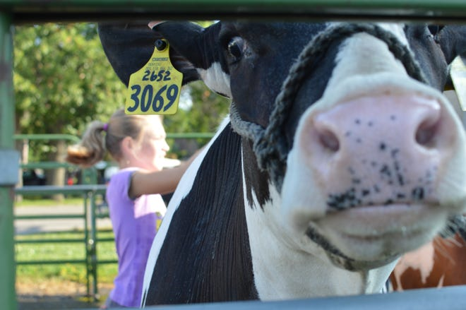 McKenna Davis, 9, scrubs cow, Bree, while Bree looks unfazed at the Wisconsin Valley fair on August 1, 2018.