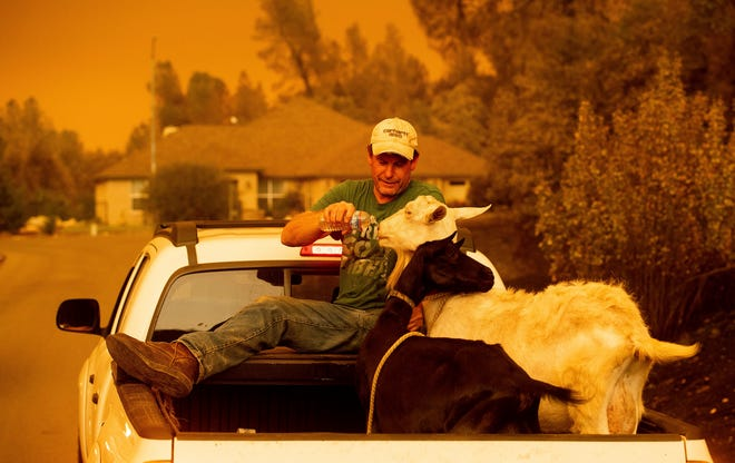 Mark Peterson, who lost his home in the Carr Fire, gives water to goats that survived the blaze on July 27 in Redding.