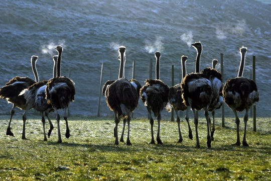 South African ostriches on an ostrich farm in central Switzerland in December 2008.