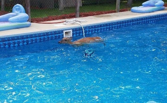 A deer went for a swim Tuesday in a backyard pool, and needed a rescue from Hamilton Township police.