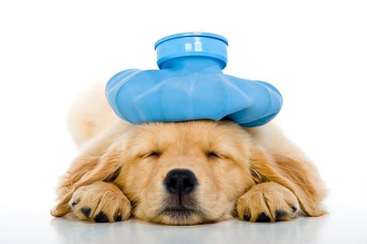 Sick Young Puppy With Ice Bag On Head White Background