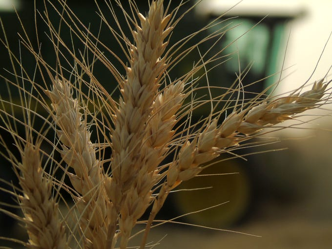 Winter wheat on the Bahnmiller Family Farms near Big Sandy.