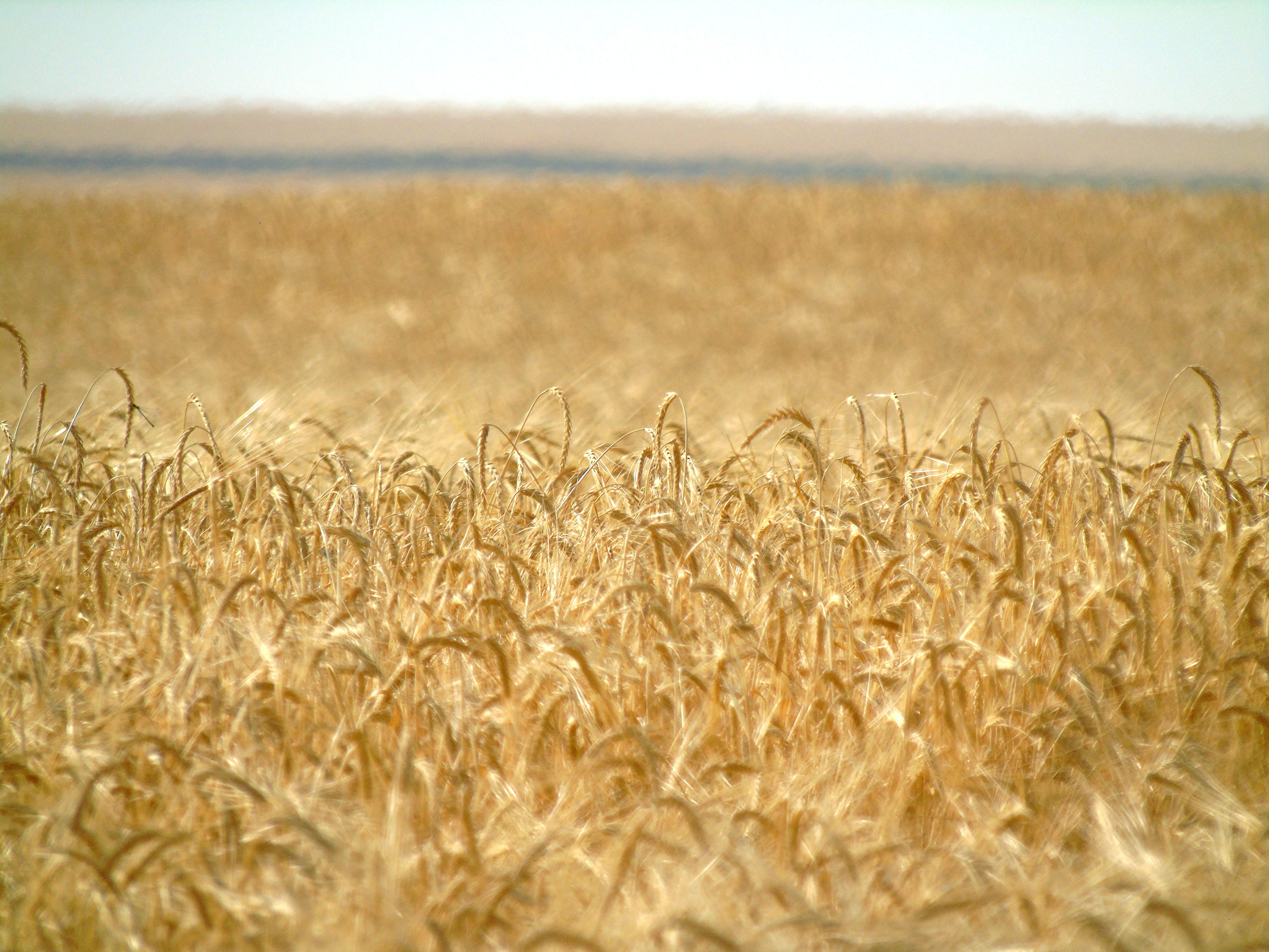 Winter wheat ripens north of Loma in Montana's Golden Triangle