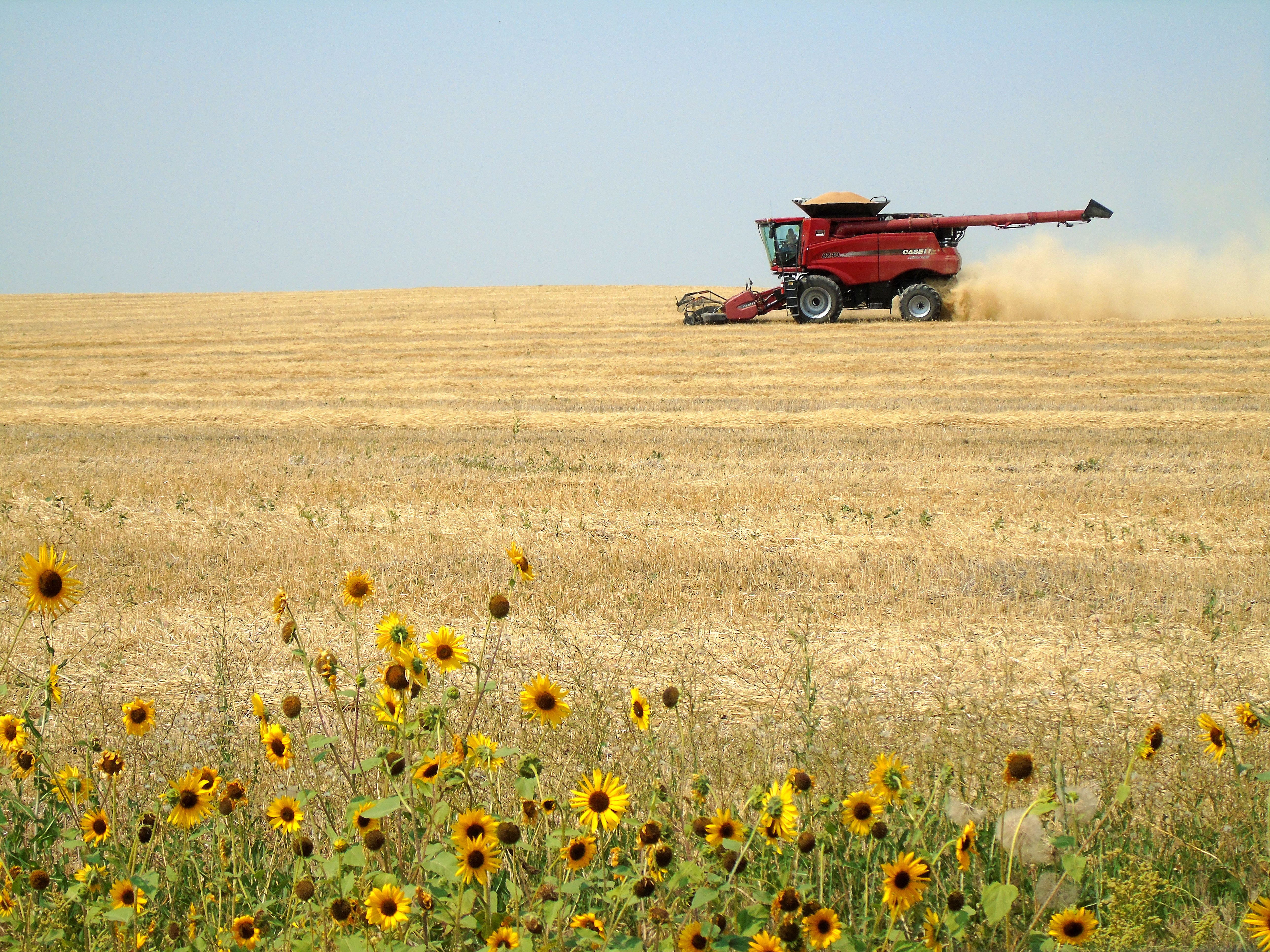 A combine picks up swathed winter wheat during harvest south of Carter.