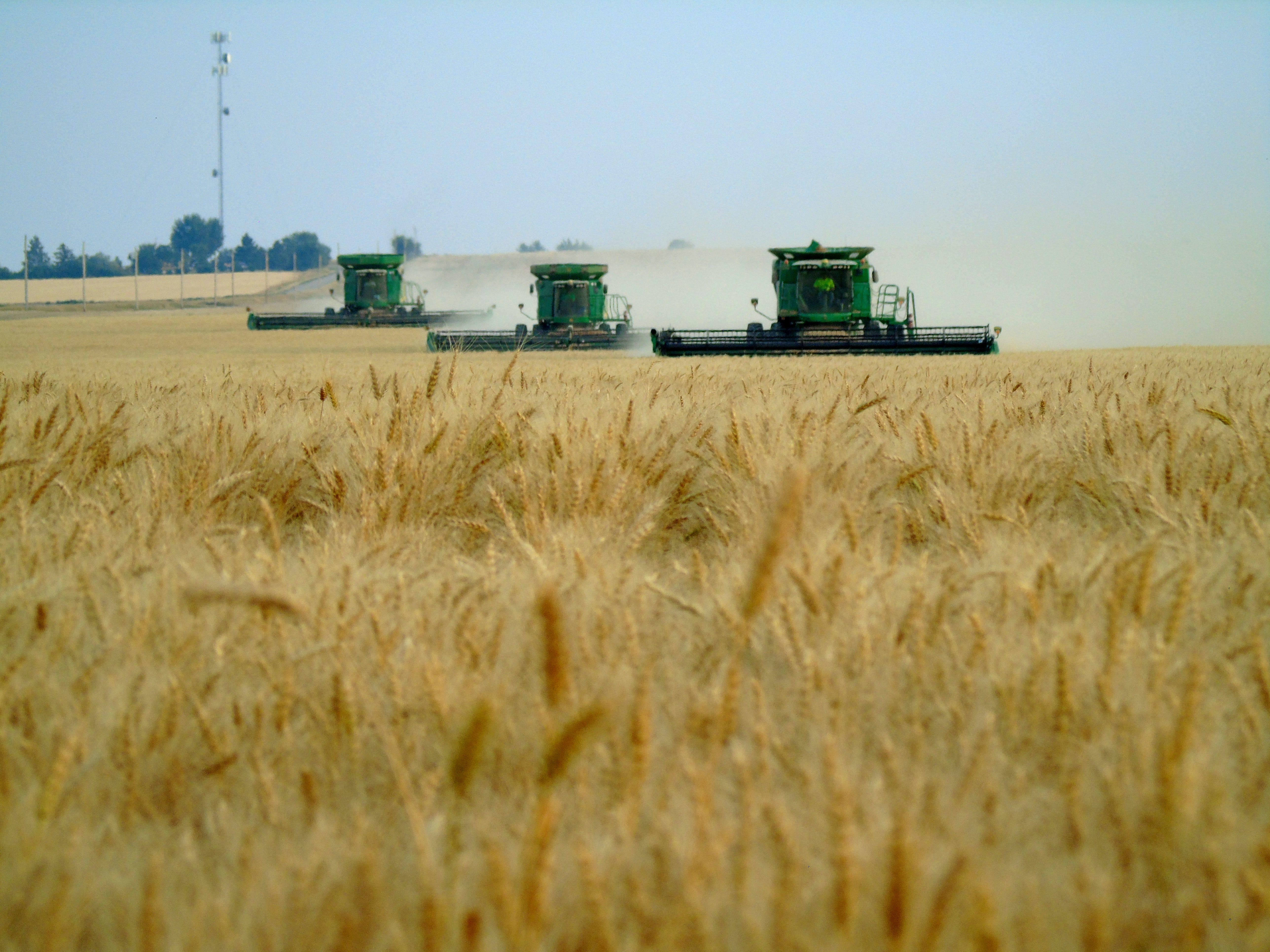 A trio of combines harvest winter wheat on the Bahnmiller Family Farms.