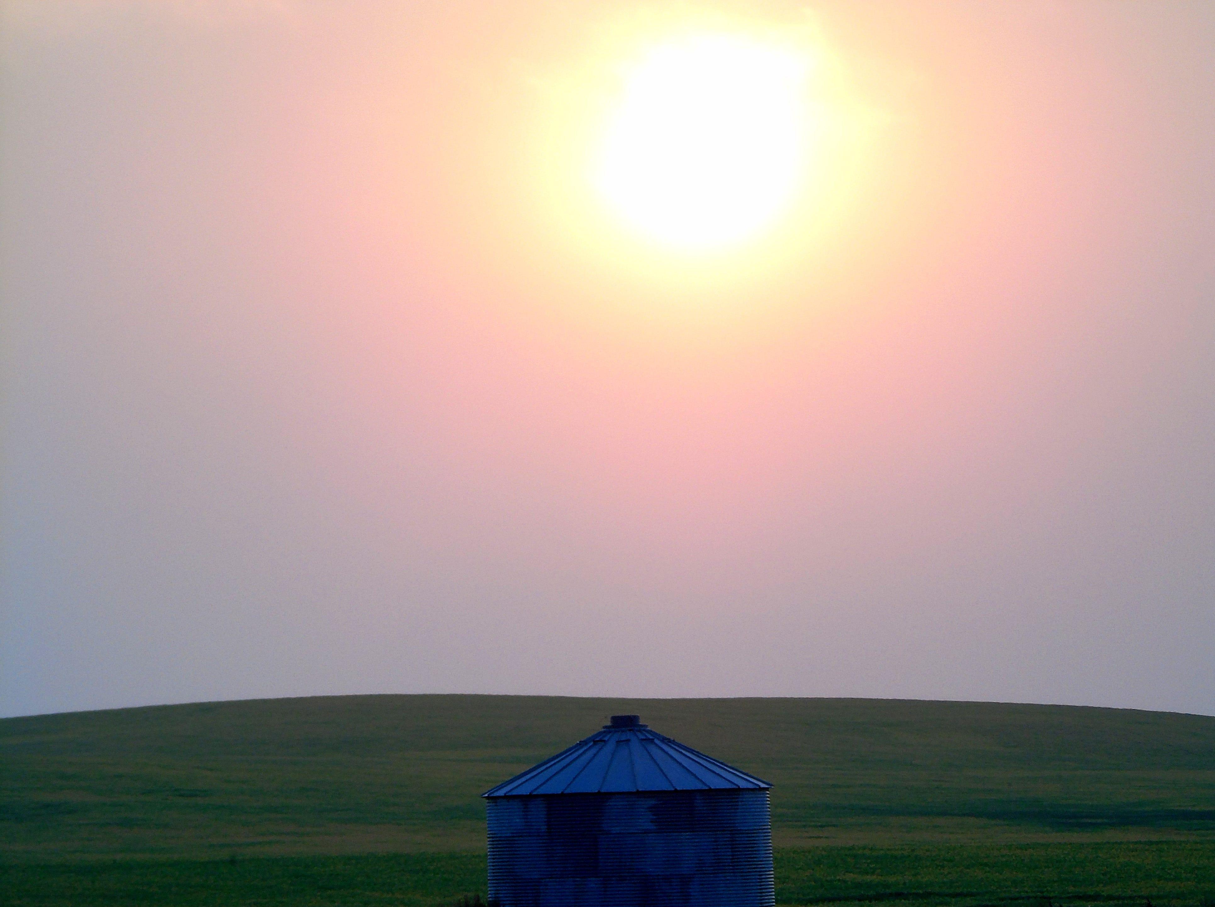 Winter wheat bakes under the August sun near Loma