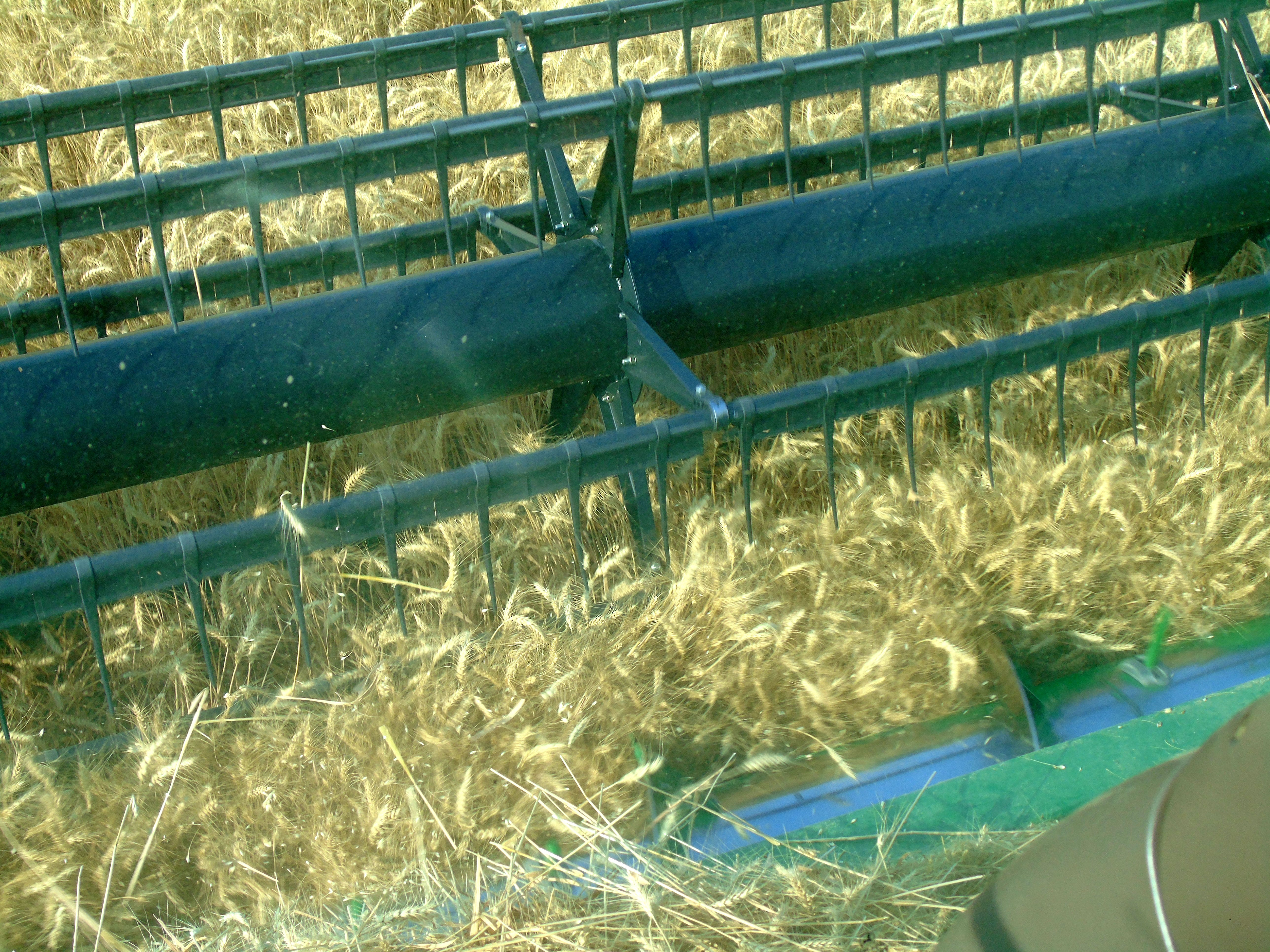 Kallan Bahnmiller harvests winter wheat south of Big Sandy.