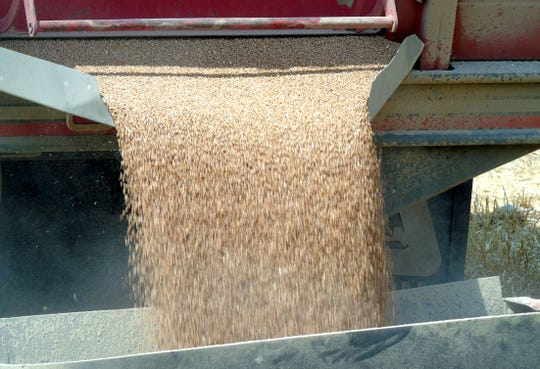 Winter wheat pours into an auger on Rominger Farms near Floweree, north of Great Falls.