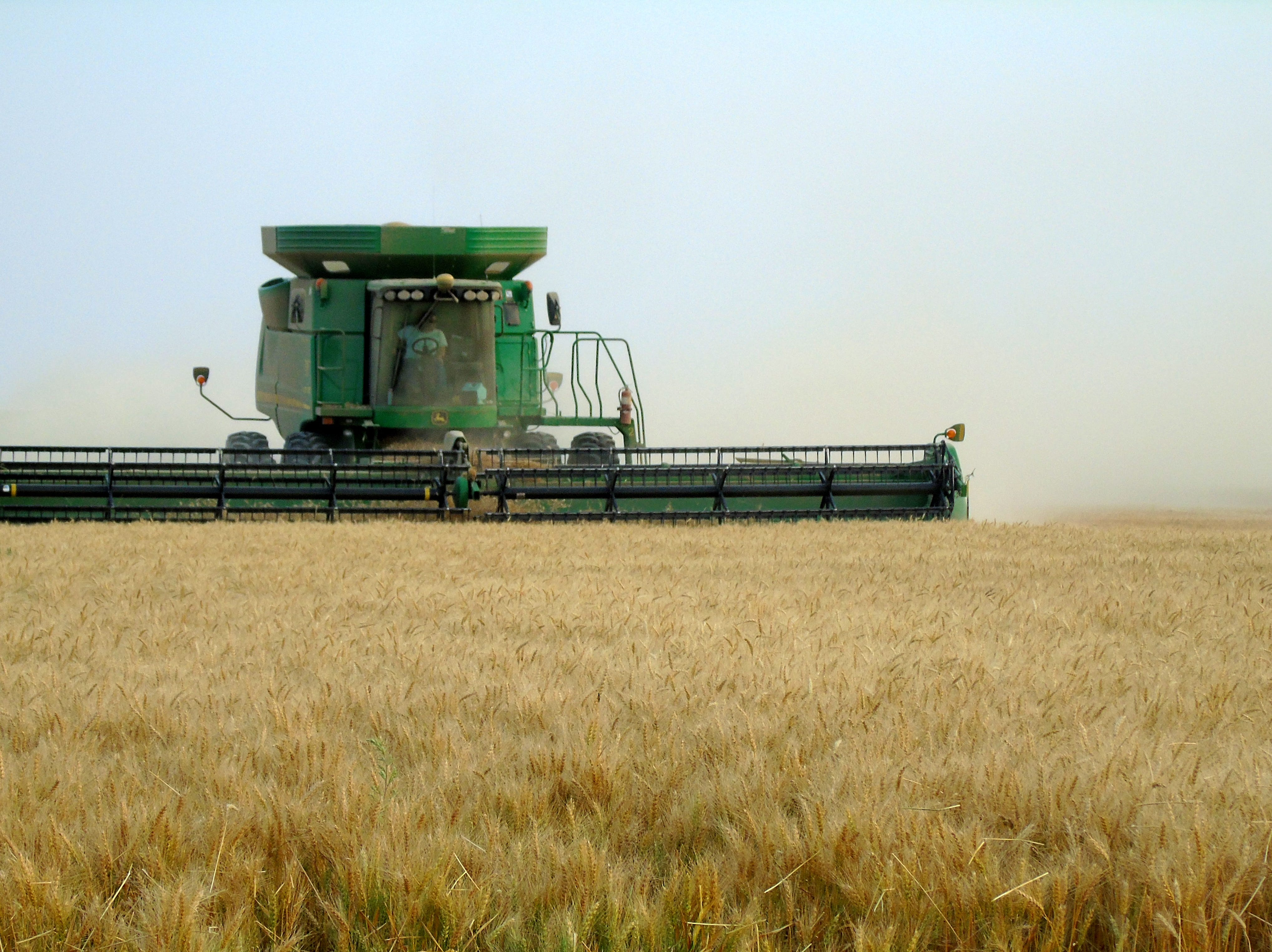 Cassie Bahnmiller harvests winter wheat south of Big Sandy.