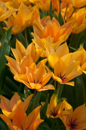 """Shogun"" is a wild or species tulip that returns year after year."