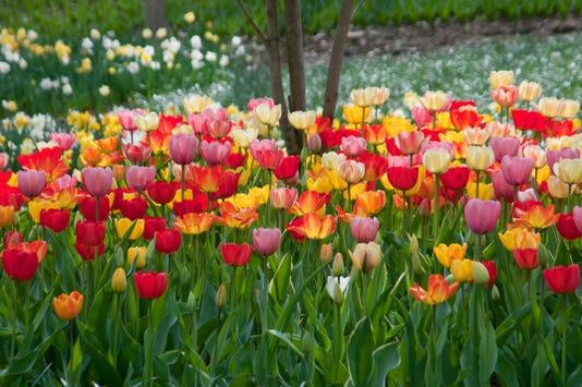 Colorblends Big Ups Tulip Blend