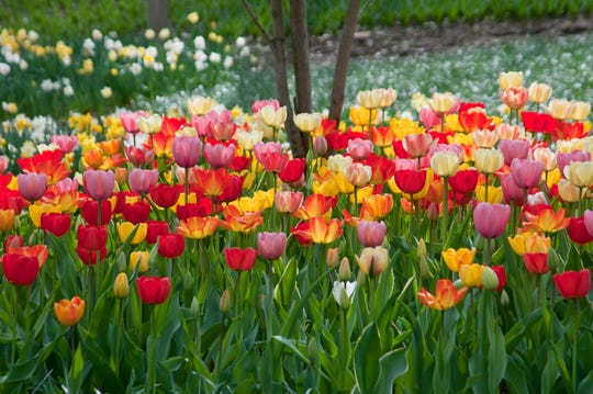 "The ""Big Ups Tulip Blend"" from Colorblends.com is a mix of vigorous, large flowered Darwin hybrid tulips."