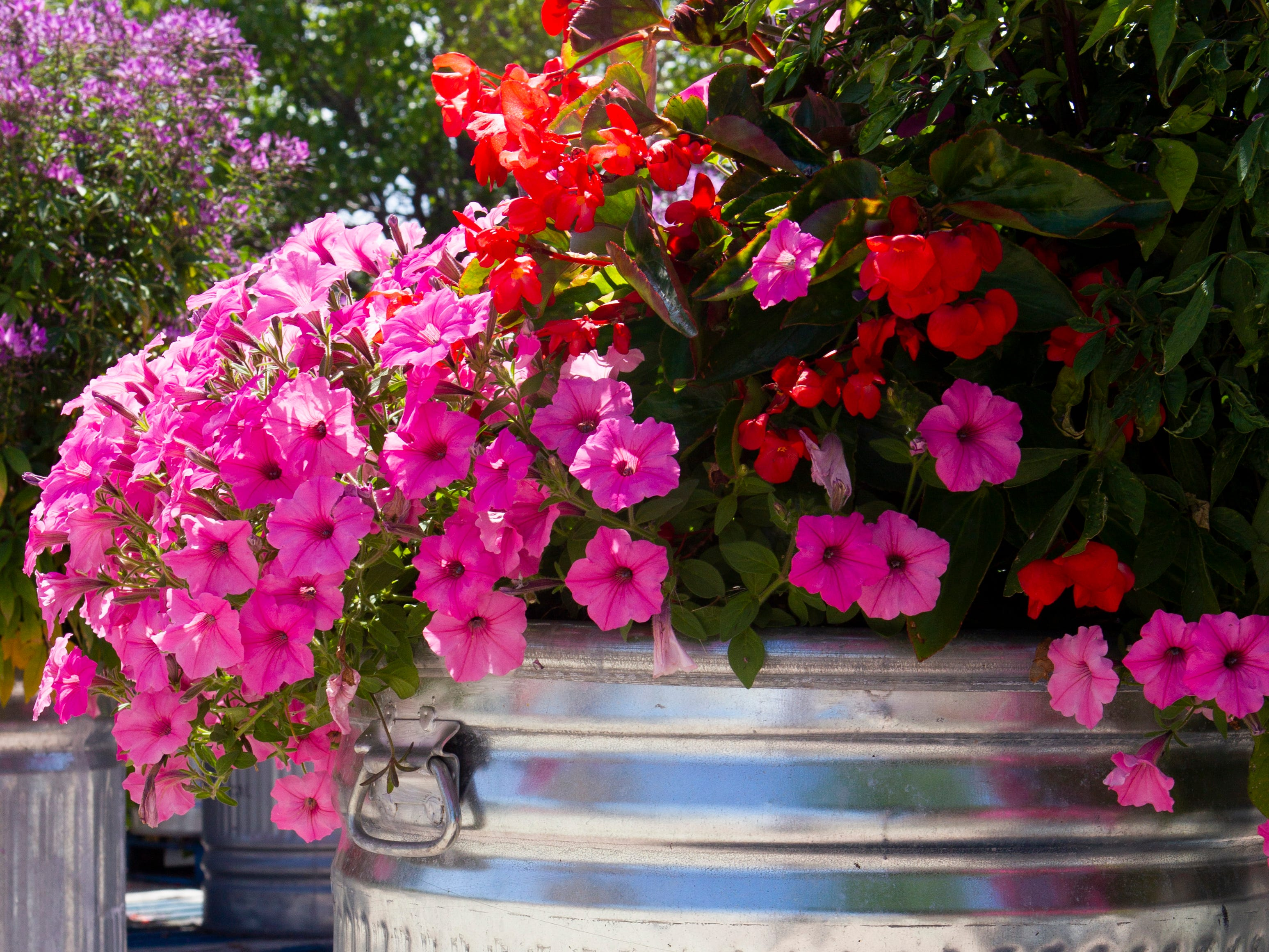This planter overflows with petunias and dragon wing begonias. Freeland Industries of supplies the Wisconsin State Fair with hundreds of stock tanks to hold flowers.