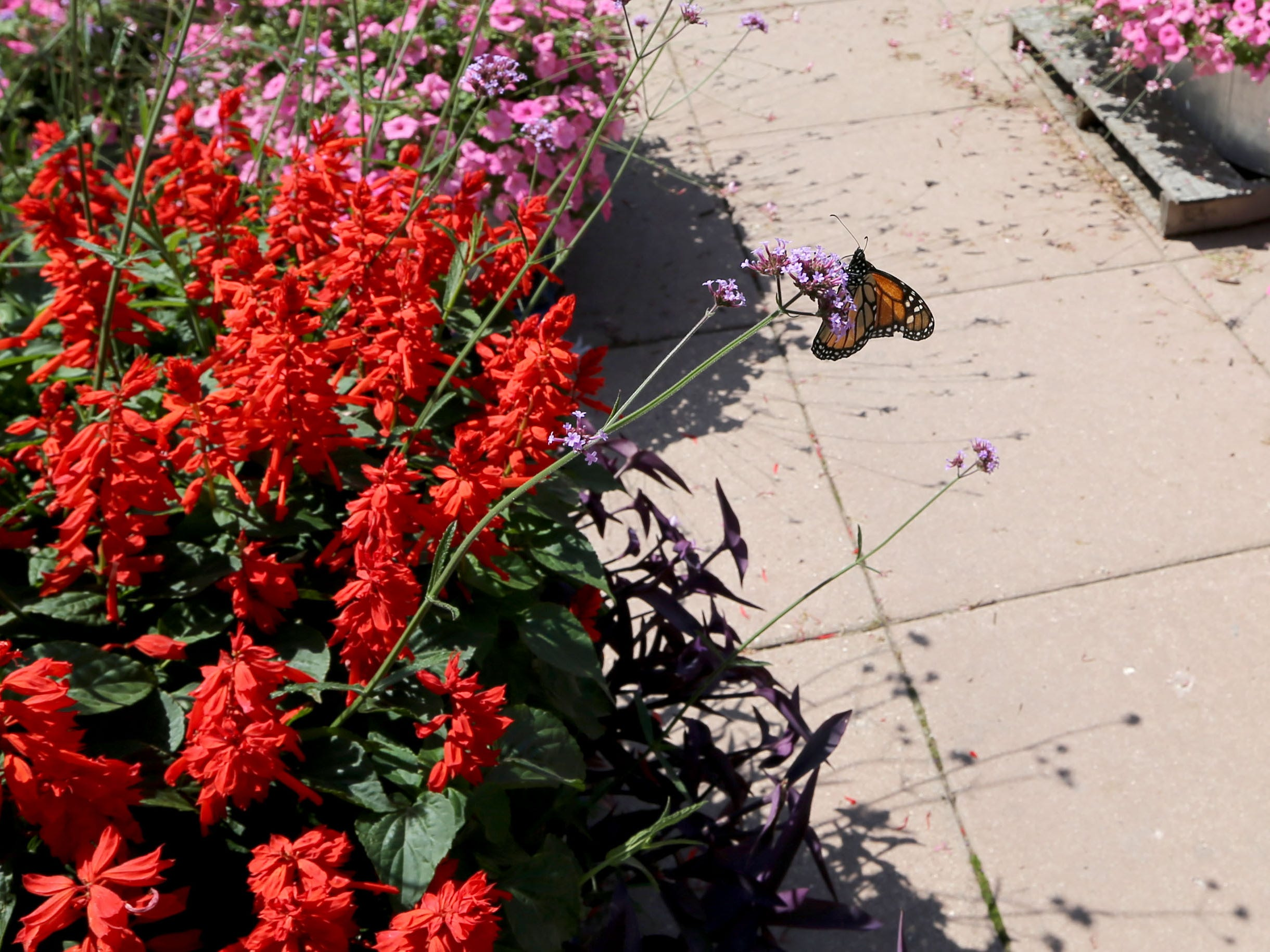 A monarch butterfly lands on a purpletop vervain poking out of a swath of red salvia in Wisconsin State Fair Park.