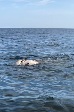 A Southwest Florida couple saw a tiger shark eat a grouper 10 miles off the coast of Port Charlotte on Sunday, July 29, 2018.