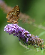 A Great Spangled Fritillary feeding on nectar in the New Jersey Botanical Gardens located in Ringwood State Park.