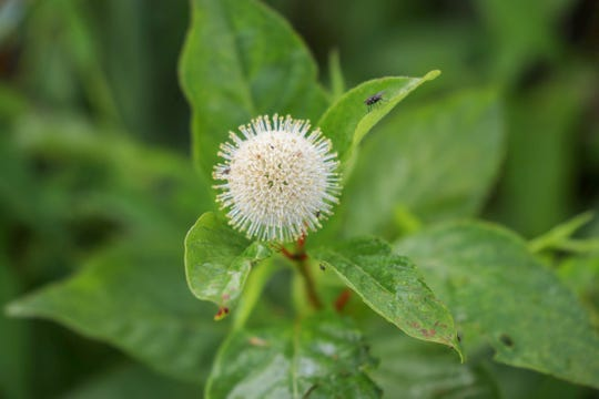 Buttonbush flowers provide nectar for at least 13 species of butterflies, as well as moths, hummingbirds, bees and other insects.