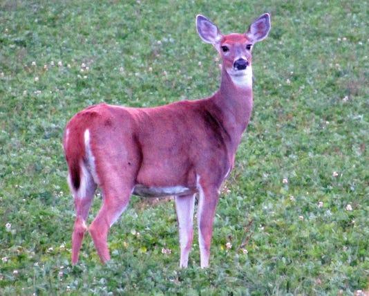 080218doe Deer