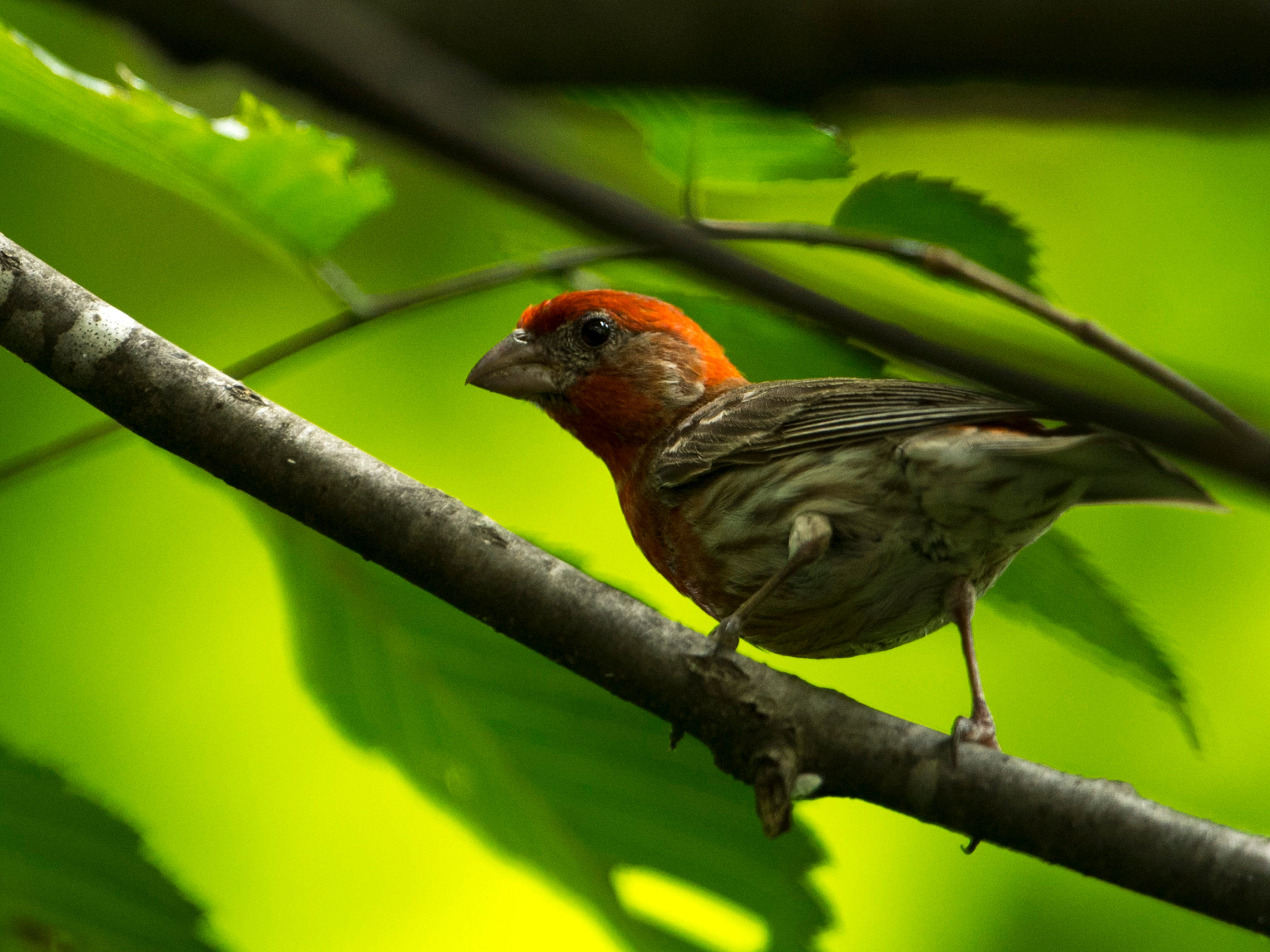 A male house finch perches on a branch outside the Wesselman Woods Nature Preserve's bird viewing station   in late June.