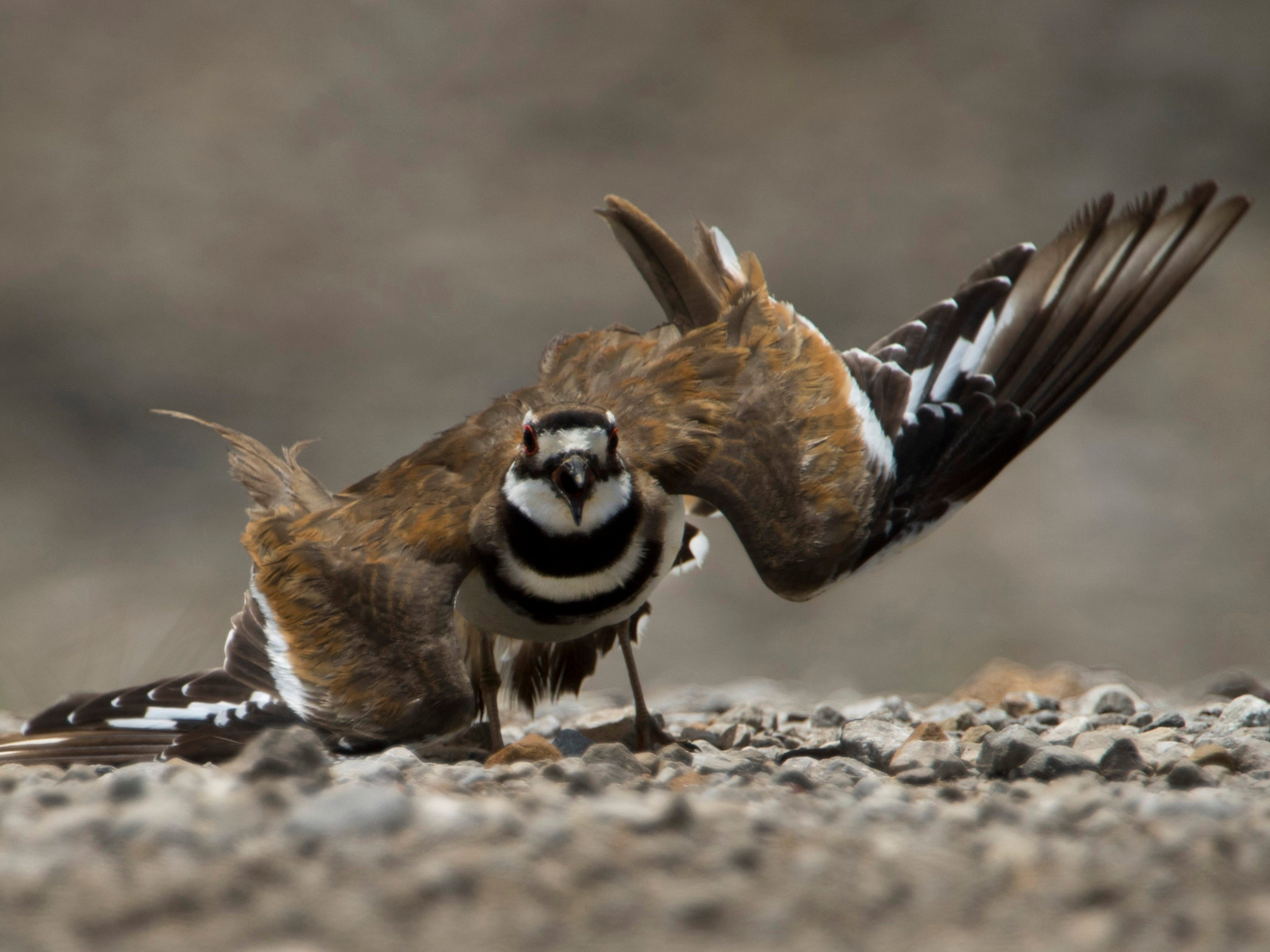 A killdeer feigns an injury to lead an intruder away from its offspring on a gravel road at the Patoka National Wildlife Refuge in Southern Indiana in late June. Southern Indiana offers bird watchers a wide variety of feathered finds.