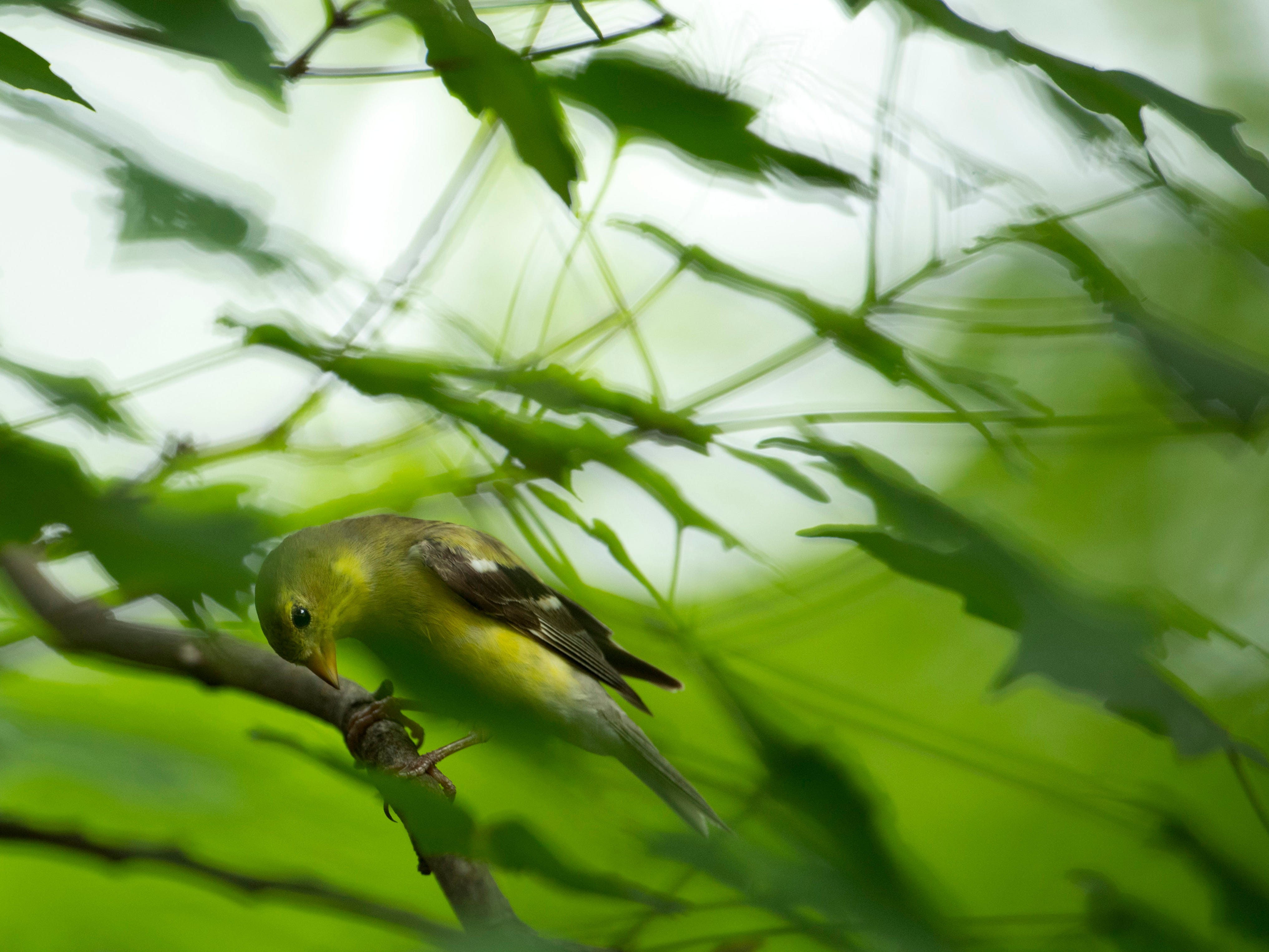 A female American goldfinch looks for a snack outside the Wesselman Woods Nature Preserve's bird viewing station in late June.