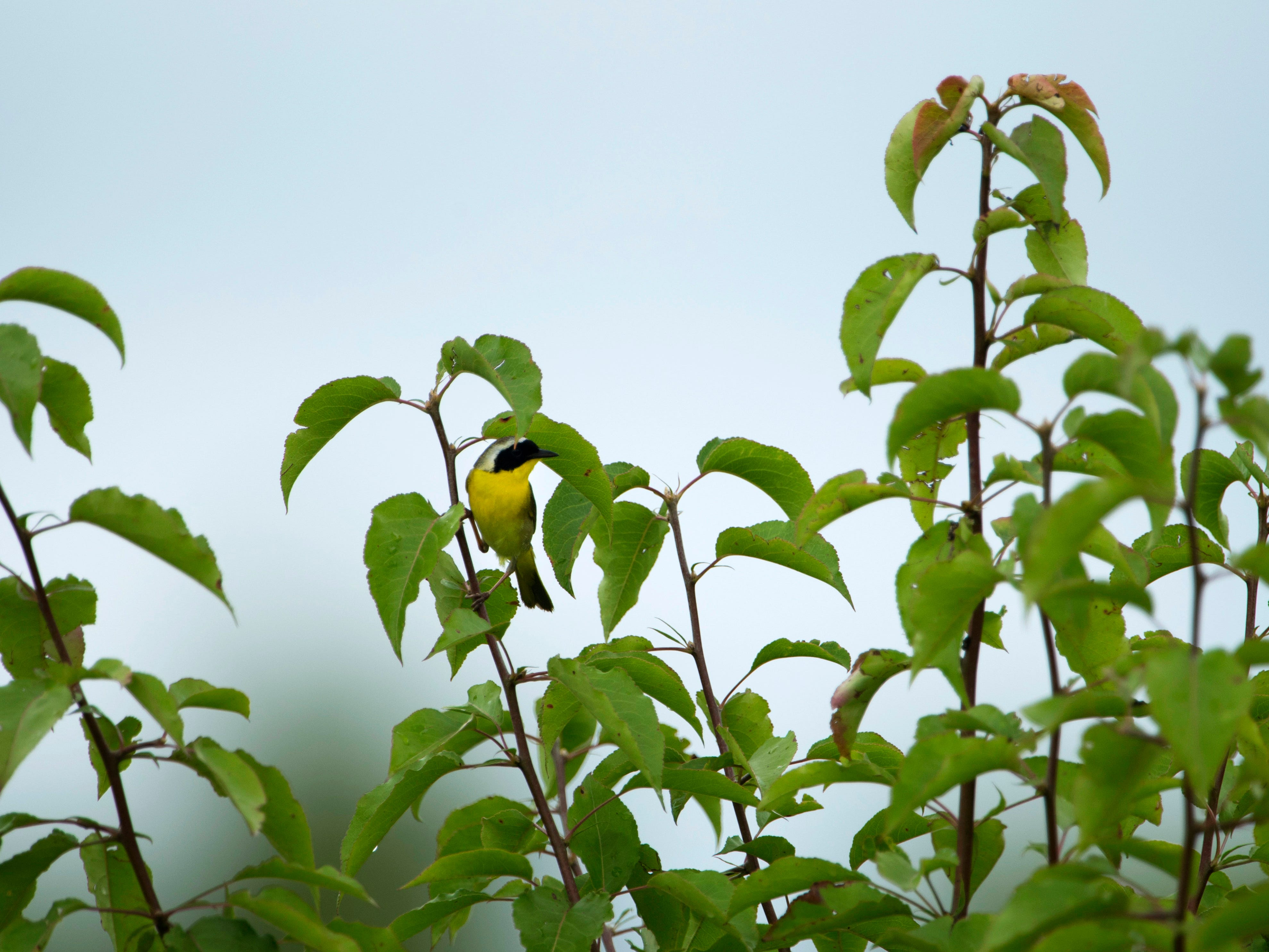 A common yellowthroat clings to a branch at the Bluegrass Fish and Wildlife Area in Warrick County in late June.