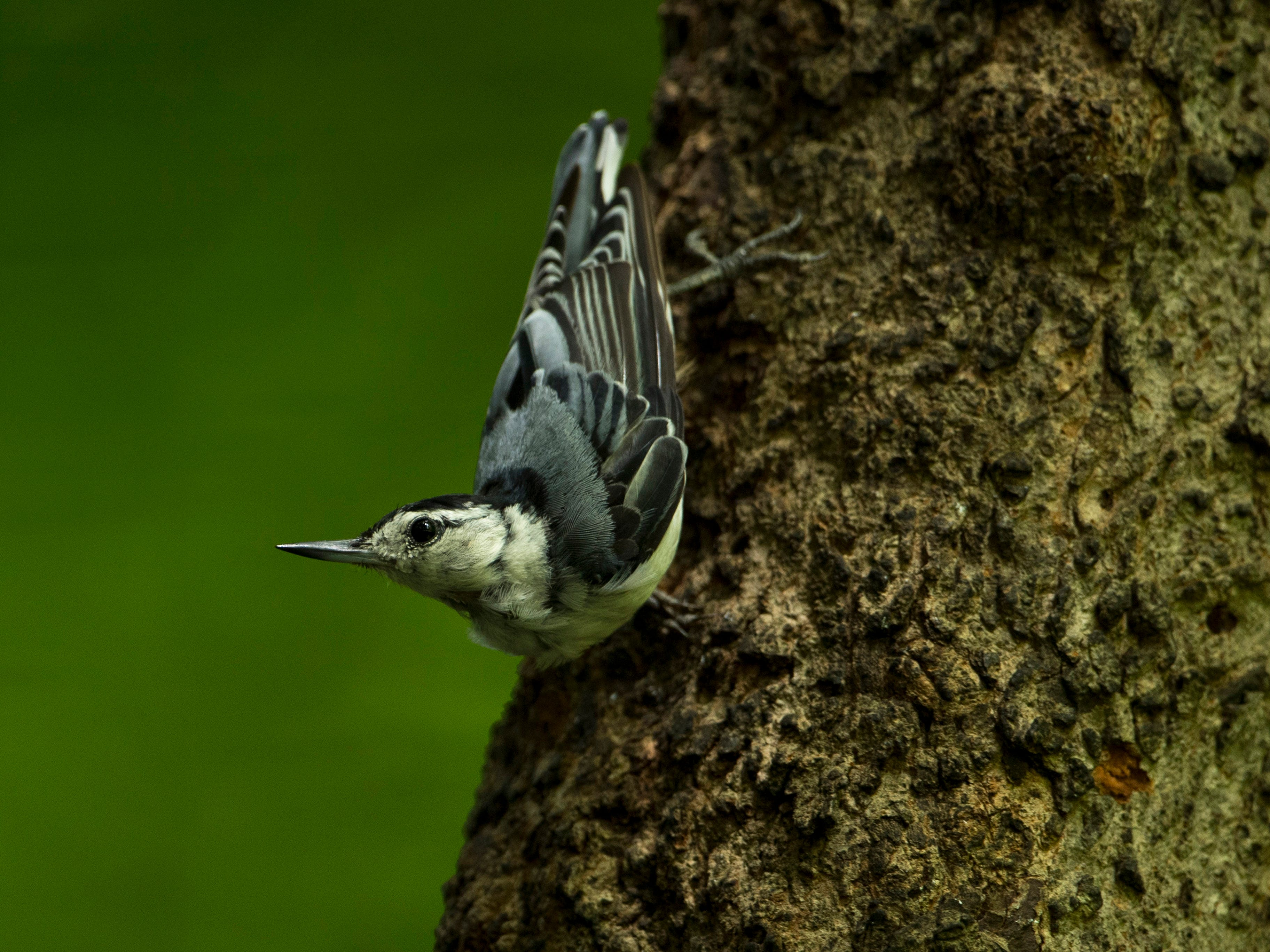 A male white-breasted nuthatch descends a tree trunk in search of a meal outside the Wesselman Woods Nature Preserve's bird viewing station in late June.
