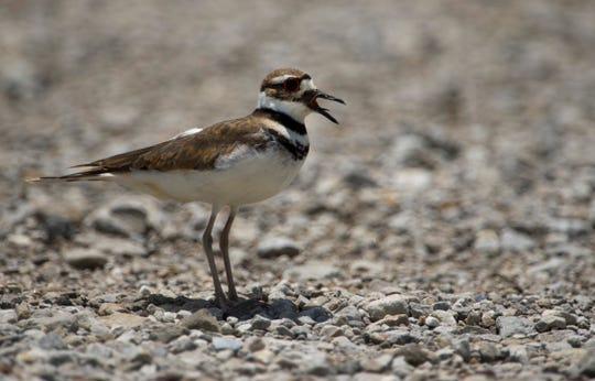 A killdeer leads an intruder away from its offspring on a gravel road at the Patoka National Wildlife Refuge in Southern Indiana in late June. Southern Indiana offers bird watchers a wide variety of feathered finds.