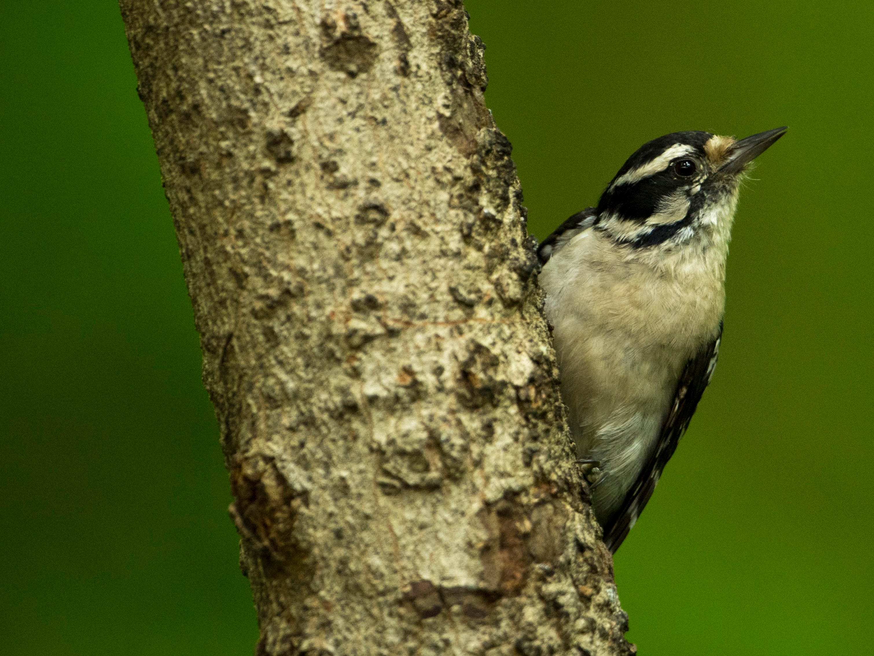 A female downey woodpecker outside the Wesselman Woods Nature Preserve's bird viewing station in late June.