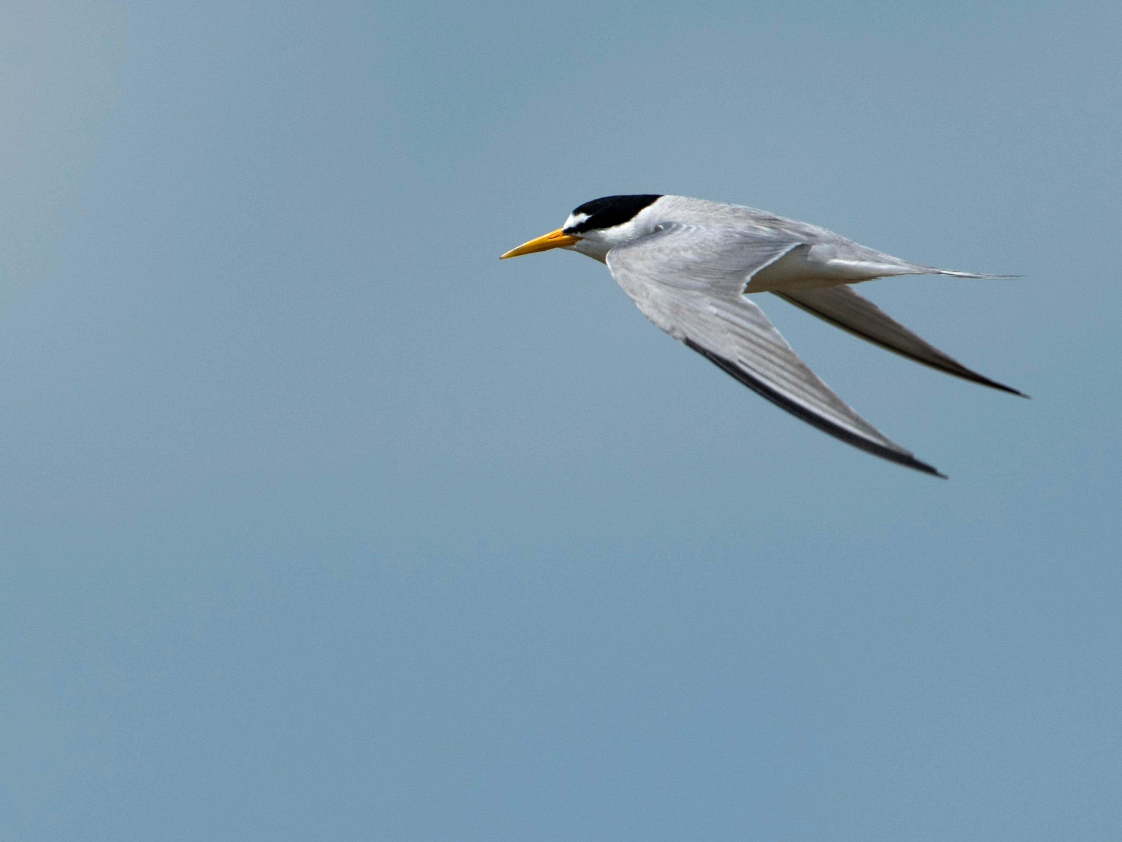 A least tern glides above a flooded farm field at the Patoka River National Wildlife Refuge in late June. The birds are currently on the endangered species list with only about 8,000 in the wild.