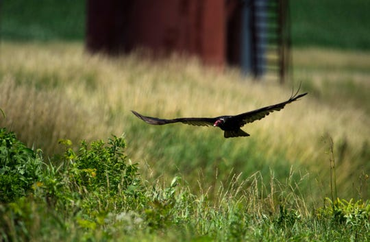 A turkey vulture glides over a ditch near the gravel road that offered a flattened meal at the Patoka River National Wildlife Refuge in late June.
