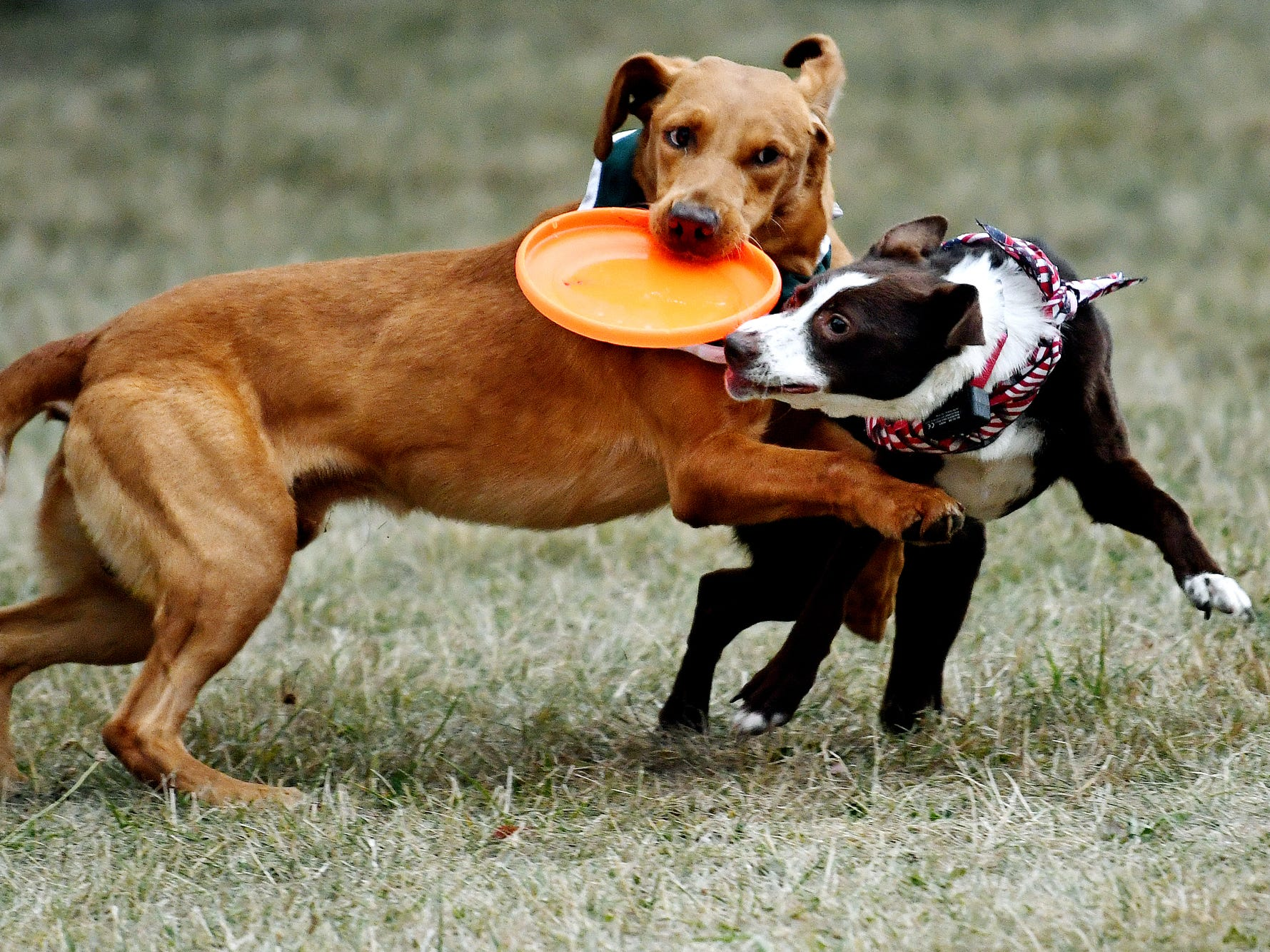 Zeke the Wonderdog IV, left, keeps a flying disc away from Rally during the dogs' performance as part of Play in the Park on Tuesday, July 31, 2018, at Valley Court Park in East Lansing.