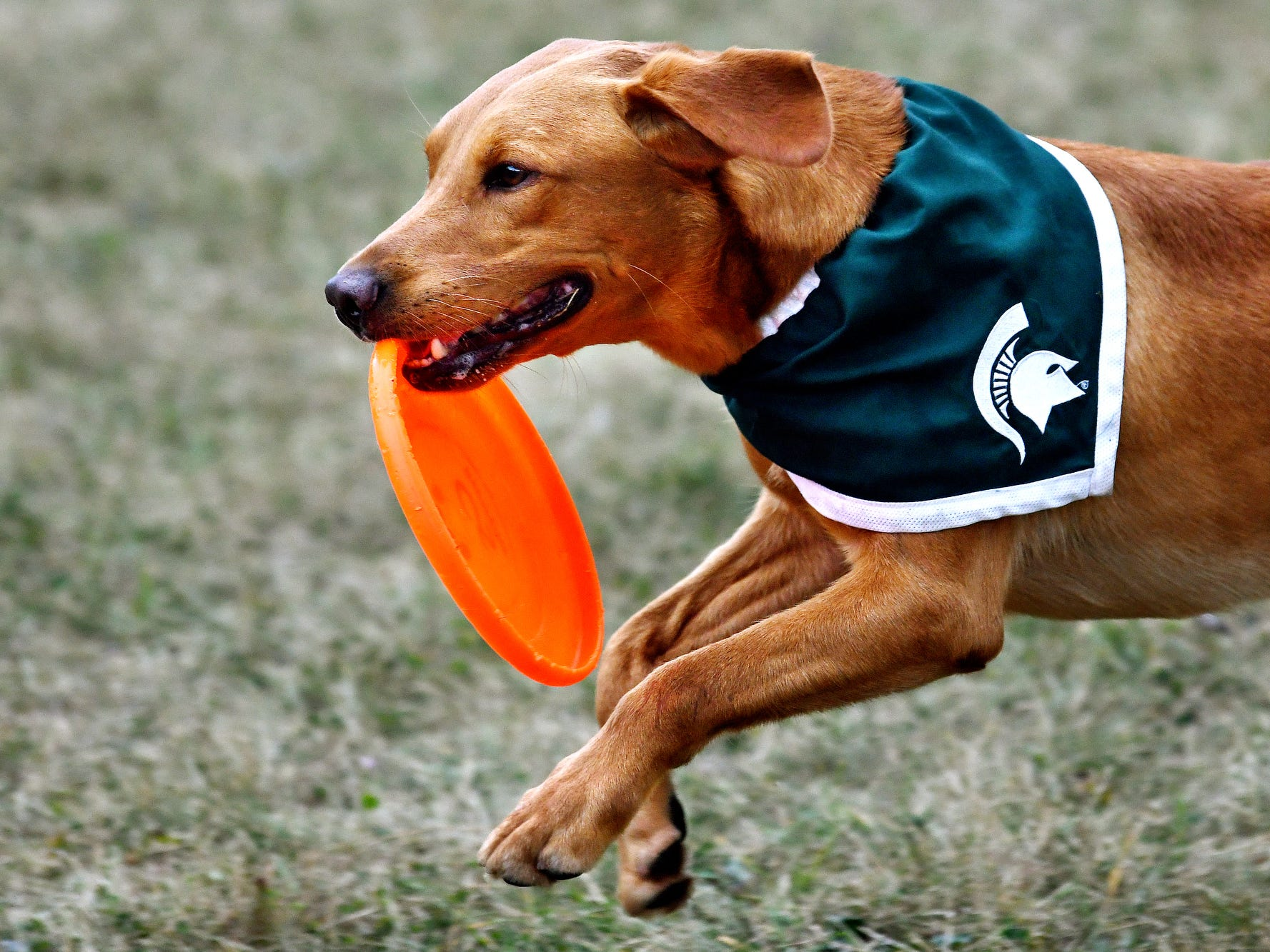 Zeke the Wonderdog IV carries a flaying disc back to his caretaker Jim Foley during Play in the Park on Tuesday, July 31, 2018, at Valley Court Park in East Lansing.