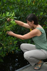 Rookery Bay research coordinator Dr. Brita Jessen surrounded by mangroves at the Environmental Learning Center. Rookery Bay National Estuarine Research Reserve will collaborate on two research projects, with Duke University and the University of South Florida (USF), to conduct research on Rookery Bay lands and waters.