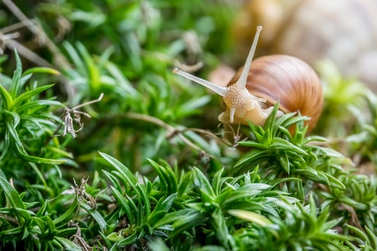 Land Snail Moving Slowly In The Undergrowth