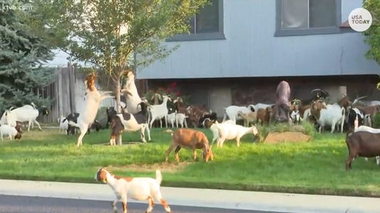 Goats On The Run Thumb Ktvb Com